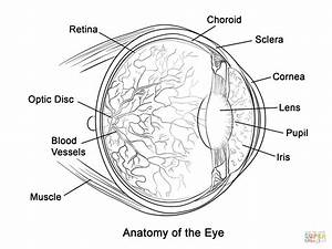 human eye anatomy coloring page free printable coloring With eyediagramjpg