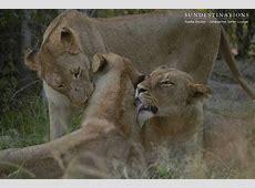 BREAKING NEWS 6 Mhangeni Breakaway Lionesses KILL