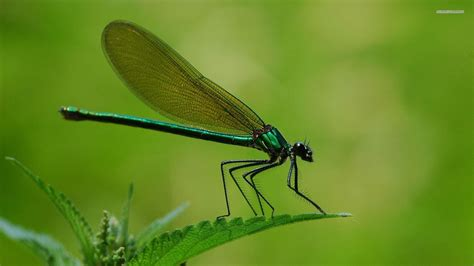 Dragon Fly Wallpapers