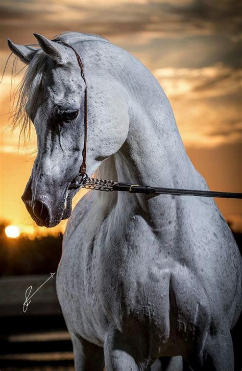 horse exotic animals horses arabian breeds