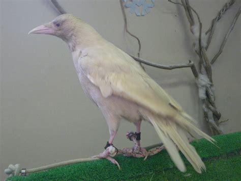 Carrion Crow Albino 20091101.jpg