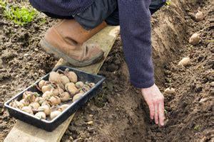 kartoffeln pflanzen so wird es richtig gemacht