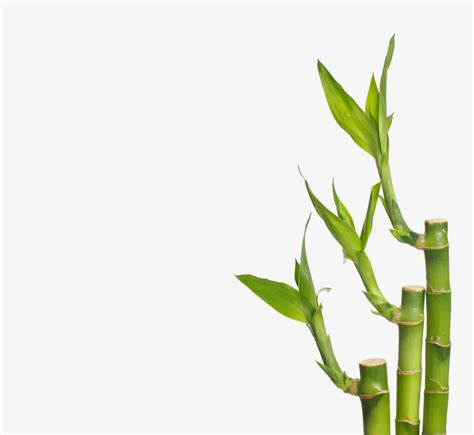 where will bamboo grow how fast does bamboo grow how do you know