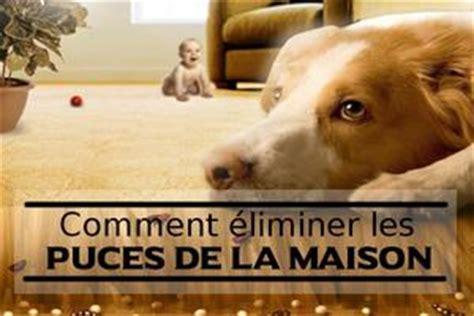 maison infestee de puces puce du chien solution et traitement
