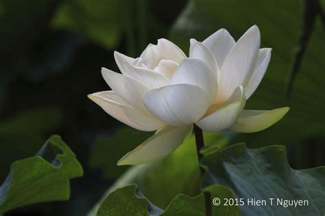 white lotus neihtn
