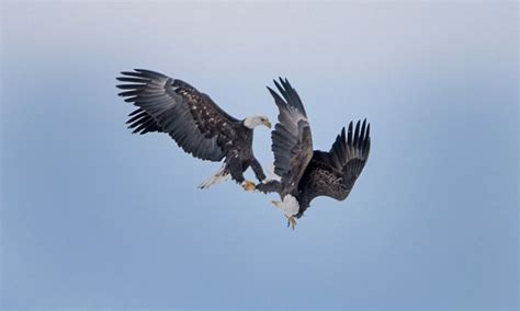 Mating eagles cartwheel across the sky with talons locked