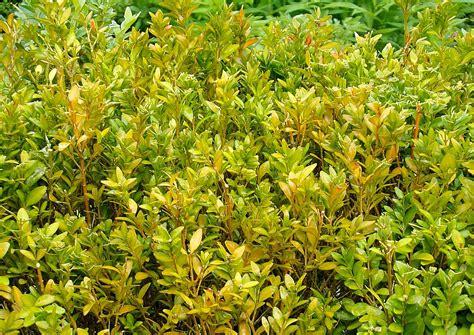 feige blätter braune flecken buchsbaum braune bl 228 tter hilfe mein buchsbaum bekommt gelbe bl tter buchsbaum krankheiten und