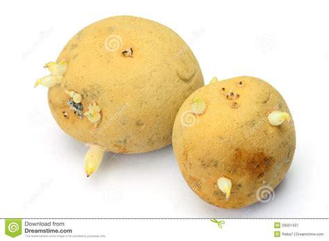 pomme de terre qu un bourgeon est apparu image stock