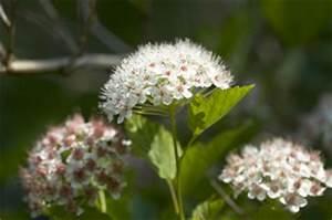 Schneeball Strauch Arten : schneeball viburnum pflanzen pflege schneiden ~ Frokenaadalensverden.com Haus und Dekorationen