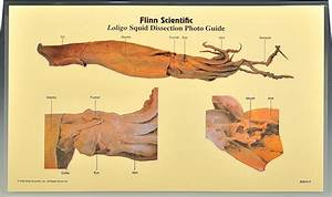 Lumbricus Earthworm Dissection Photo Guide  Pkg  Of 5