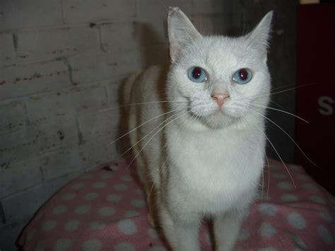 burmese cat cat breed selector