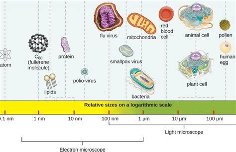 ce microorganisme pot infecta  femeie  cursul sarcinii