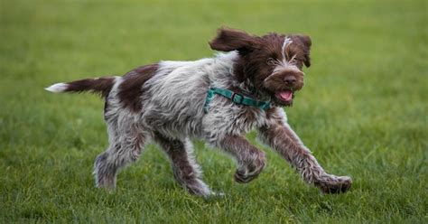 list of wire haired breeds dog breeds picture