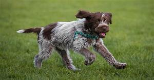 The gallery for --> Wirehaired Pointing Griffon Hunting
