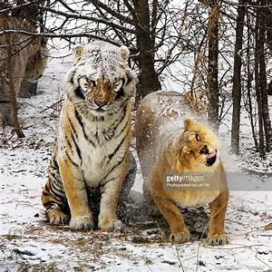 Siberian Tiger And Lion Stock Photo | Getty Images