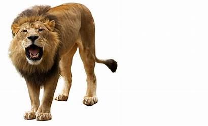 Lion Transparent Background