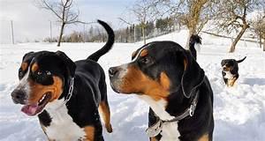 Berner Sennenhund Gewicht : gro er schweizer sennenhund alle sennenhunde ~ Markanthonyermac.com Haus und Dekorationen