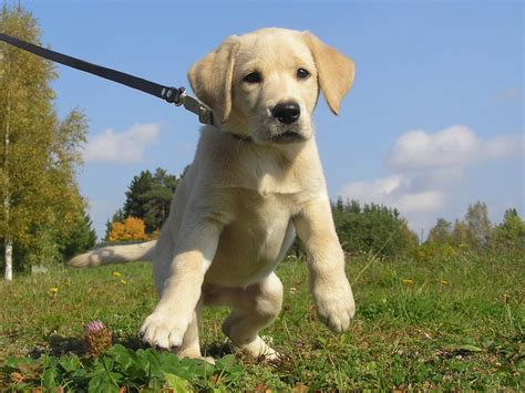 La Dor Pup Guide Dog  Ee  Puppy Ee   Opas Eevi As A Youngster Kes Flickr