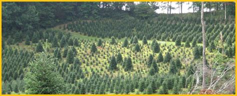 christmas tree farms in nc every stitch a prayer run through the trees 5892