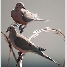 Two Turtle Doves  Birds Pinterest