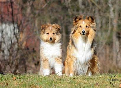 Sheltie Dog Background Breed Forest Wallpapers Dogs
