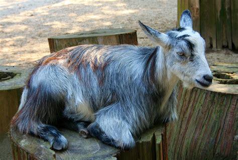 White, Alone, Wildlife, Goat, Zoo, Cattle