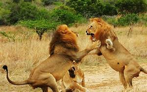 Gallery of Fighting Lions Pictures on Animal Picture Society