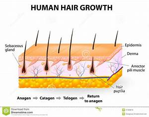 Human Hair Growth Stock Vector  Illustration Of Dermis