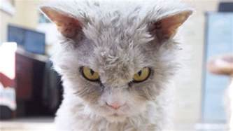what of cat is grumpy cat we of prefer new grumpy cat to the original