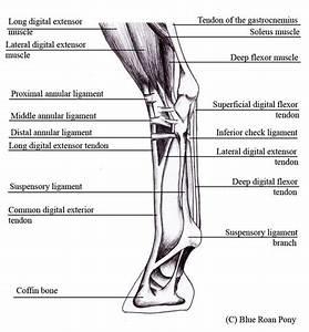 Anatomy Of The Equine Hindleg
