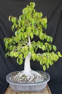 Ficus Benjamini Vermehren : ficus bonsai ~ Lizthompson.info Haus und Dekorationen