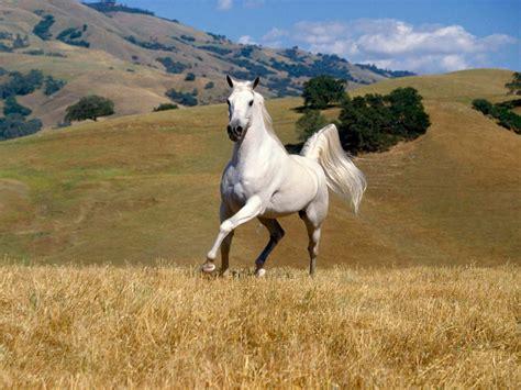 horse wallpapers horses most stallion ever animal arabian foals desktop