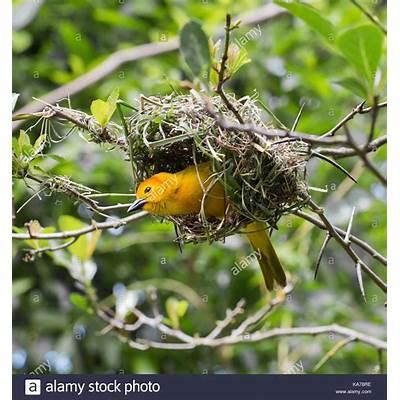 African Weaver Bird Nestwww.pixshark.com - Images