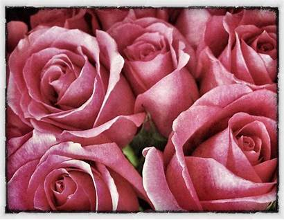 Hippie Flower Pink Soft Wallpapers Roses Wallpaperaccess