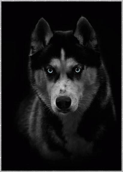 Husky Alaskan Siberian Wolf Gifs Puppy Dog