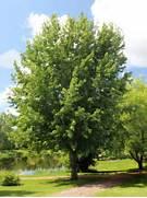 Sugar Maple for sale -...Sugar Maple Tree