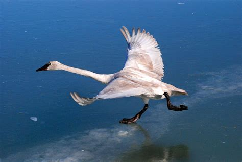 swan trumpeter bird audubon arvo poolar guide swans endangered backyard buccinator birds north american status largest kk conservation climate native