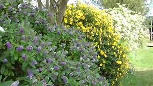 Haie Haute Et Rapide : v ronique en arbre une haie d 39 arbustes persistants youtube ~ Dode.kayakingforconservation.com Idées de Décoration