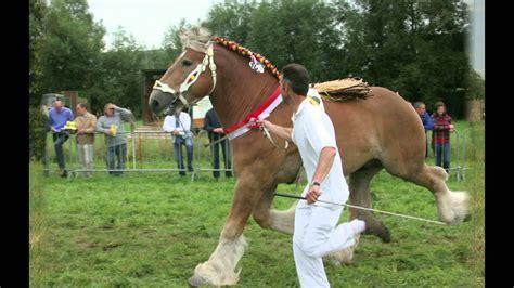 draft belgian horses stallions flemish