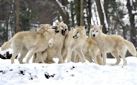 wolf backgrounds wallpapers images design trends
