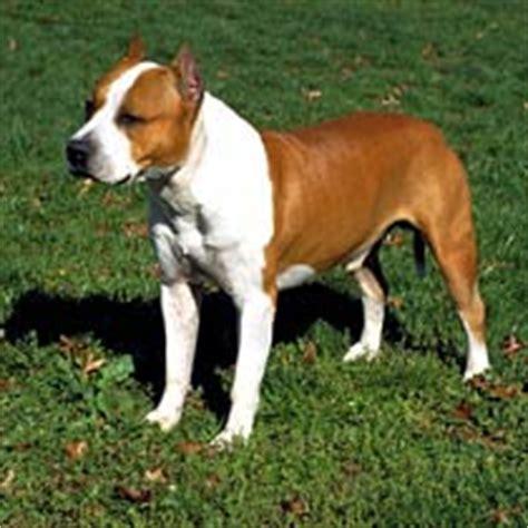 imagens de caes da raca american staffordshire terrier