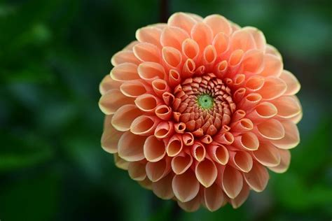 dahlia salmon flower garden  photo  pixabay