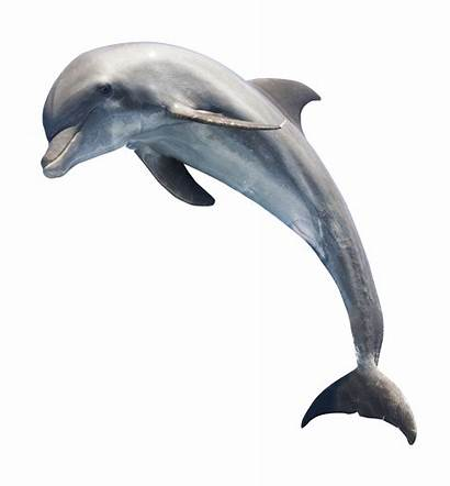 Dolphin Transparent Jumping Dolphins Fish Clipart Animals