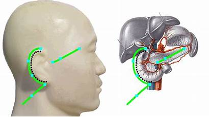 Ear Pancreas Meridian Triple Duodenum Gifs Sanjiao