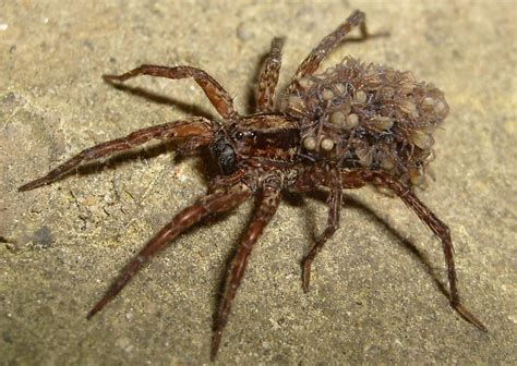 wolf spider how to get rid of pest spiders for beginners hunting spiders commonly found in and around houses