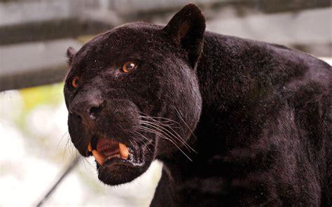 black jaguar wallpapers wallpaper cave