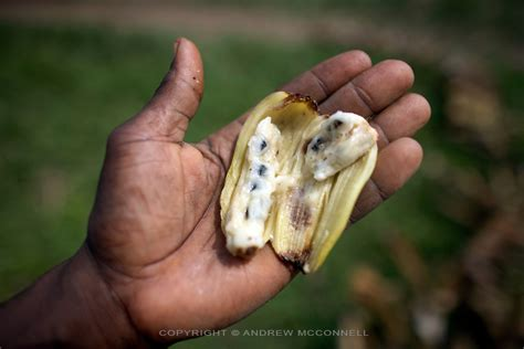 bananas with seeds yangambi congo 24 jpg andrew mcconnell