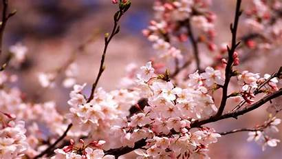 Cherry Blossoms Wallpapers Blossom Pain Fireworks Wall