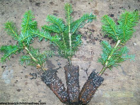 noble fir transplants noble fir trees for sale seedlings