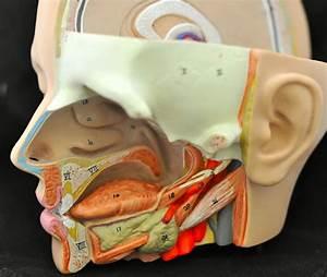 Human Anatomy Lab  Head Models